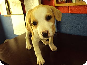 Beagle Mix Puppy for adoption in BLACKWELL, Oklahoma - Female 1