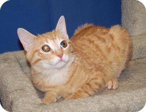 Domestic Shorthair Kitten for adoption in Colorado Springs, Colorado - Hamish