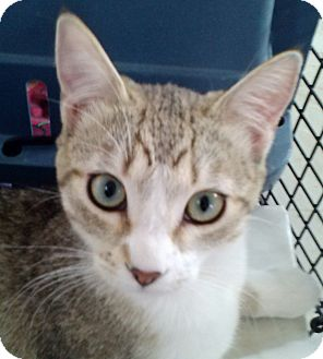 Domestic Shorthair Kitten for adoption in San Fernando Valley, California - Tiger