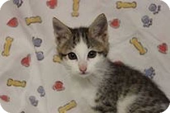 American Shorthair Kitten for adoption in Flat Rock, Michigan - Colby