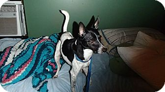 Fox Terrier (Smooth)/Whippet Mix Dog for adoption in Malabar, Florida - Chippen