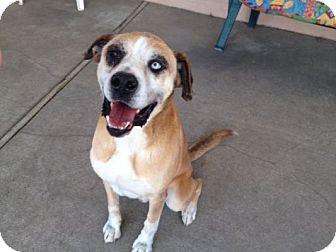 Boxer/Alaskan Malamute Mix Dog for adoption in Canoga Park, California - Isaac