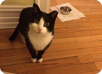 Domestic Shorthair Cat for adoption in Chicago, Illinois - Boston
