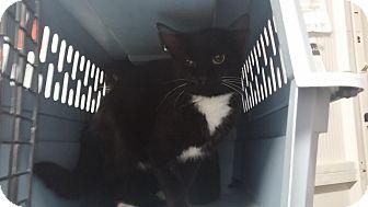 Domestic Shorthair Cat for adoption in Darlington, South Carolina - Annie