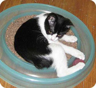 Domestic Shorthair Kitten for adoption in Parkville, Missouri - Sedona