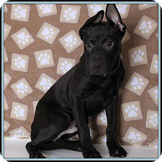 Labrador Retriever Mix Dog for adoption in Glendale, Arizona - Romeo
