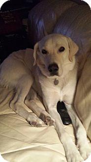 Labrador Retriever Dog for adoption in Phoenix, Arizona - Ollie