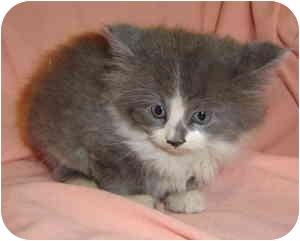 Siamese Kitten for adoption in Aledo, Illinois - Lila