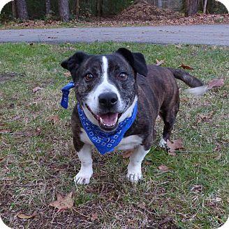 Basset Hound/Terrier (Unknown Type, Medium) Mix Dog for adoption in Mocksville, North Carolina - Big Man