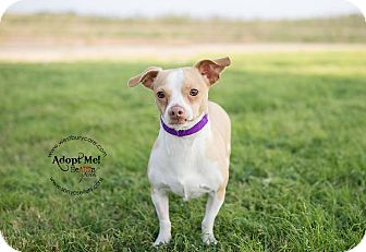 Chihuahua Mix Dog for adoption in Houston, Texas - Rudolph