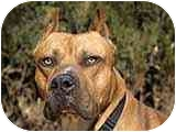 American Pit Bull Terrier Mix Dog for adoption in All of Colorado, Colorado - Please Hurry! <b>Dozer</b>