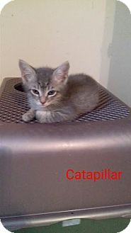 Domestic Shorthair Kitten for adoption in McDonough, Georgia - Caterpillar