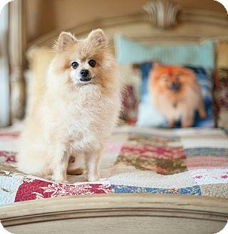 Pomeranian Dog for adoption in Dallas, Texas - Dewey