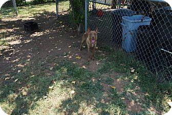 Australian Kelpie Mix Dog for adoption in Joshua, Texas - Mya