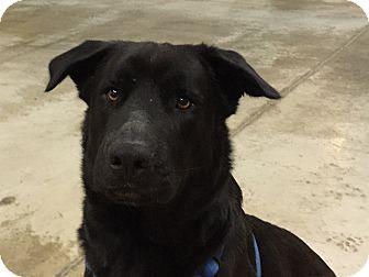 Labrador Retriever/German Shepherd Dog Mix Dog for adoption in Swanzey, New Hampshire - Buddy