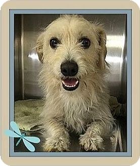 Cairn Terrier Mix Dog for adoption in Rancho Cucamonga, California - Whiskers