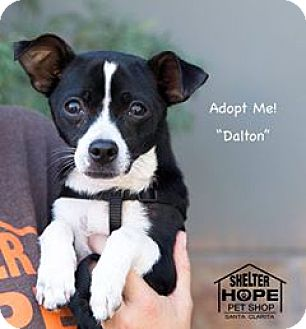 Jack Russell Terrier Mix Dog for adoption in Valencia, California - Dalton