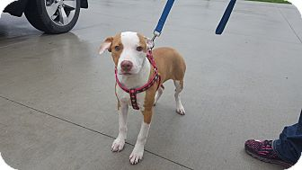 Pit Bull Terrier Mix Puppy for adoption in Seville, Ohio - Star