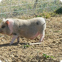 Pig (Potbellied) for adoption in Georgetown, Kentucky - Bandit