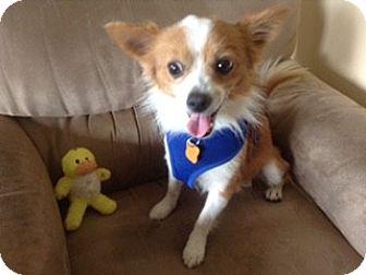 Pomeranian/Chihuahua Mix Dog for adoption in Boynton Beach, Florida - Astro