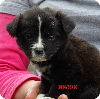 Border Collie/Shepherd (Unknown Type) Mix Puppy for adoption in Williamsport, Maryland - Cooper (5 lb) Video!