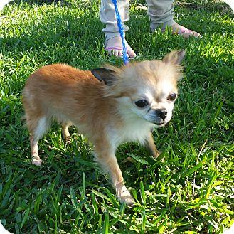 Chihuahua Dog for adoption in Houston, Texas - HEI-HEI