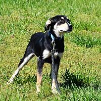 Shepherd (Unknown Type) Mix Puppy for adoption in Lebanon, Missouri - Hattie