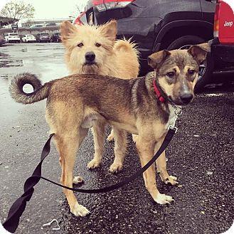 Labrador Retriever/Shepherd (Unknown Type) Mix Dog for adoption in Union Beach, New Jersey - Hero & Tevo - Egyptian Dogs!