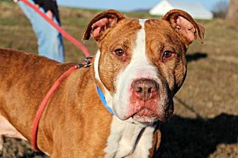 Pit Bull Terrier Mix Dog for adoption in Dillsburg, Pennsylvania - Jarvis