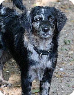Australian Shepherd/Cavalier King Charles Spaniel Mix Puppy for adoption in Sarasota, Florida - Dax