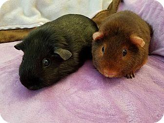 Guinea Pig for adoption in Grand Rapids, Michigan - Gemini & Nutmeg