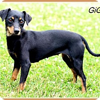 Miniature Pinscher Mix Dog for adoption in Sullivan, Indiana - GiGi