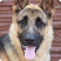 Adopt A Pet :: Brutus von Bruck - Los Angeles, CA