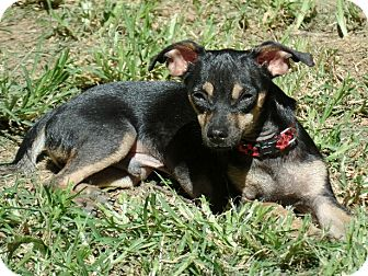 Miniature Pinscher/Chihuahua Mix Puppy for adoption in Great Falls, Virginia - Luther