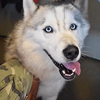 Siberian Husky Dog for adoption in Matawan, New Jersey - Mocha