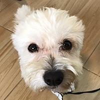 Adopt A Pet :: Gibbs - Redondo Beach, CA