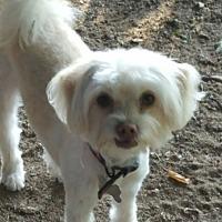 Adopt A Pet :: Lysie - Arcadia, CA