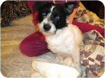 Terrier (Unknown Type, Small) Mix Dog for adoption in Marion, Indiana - O'MALLEY - Pending