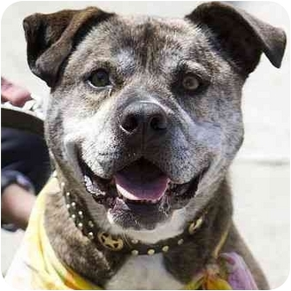 American Pit Bull Terrier Mix Dog for adoption in Berkeley, California - Shirley Temple