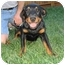 Photo 1 - Rottweiler Dog for adoption in Tracy, California - Ruby