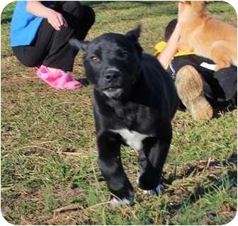 Labrador Retriever Mix Puppy for adoption in Allentown, Pennsylvania - What