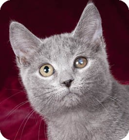 Domestic Shorthair Kitten for adoption in Chicago, Illinois - Shelly