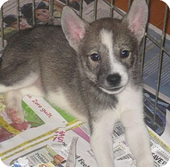 Husky/Border Collie Mix Puppy for adoption in Chicago, Illinois - Amber(ADOPTED!)