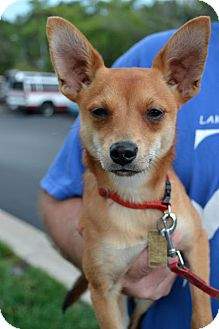 Chihuahua/Terrier (Unknown Type, Small) Mix Dog for adoption in Overland Park, Kansas - Fox