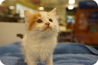 Calico Kitten for adoption in Houston, Texas - Tammy (adorable!)