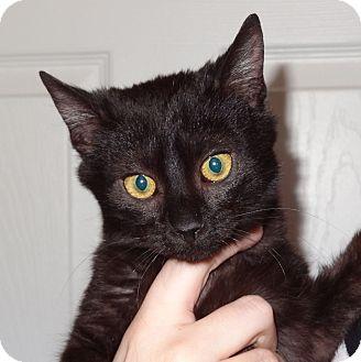 Domestic Shorthair Cat for adoption in Bentonville, Arkansas - Raleigh