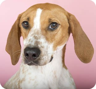 English (Redtick) Coonhound Dog for adoption in Chicago, Illinois - Dixie
