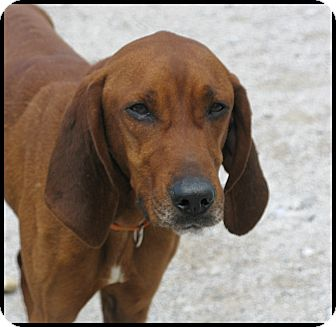 Redbone Coonhound Dog for adoption in Indianapolis, Indiana - Jeremy