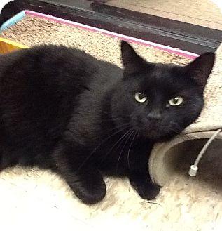 Domestic Shorthair Cat for adoption in Colmar, Pennsylvania - Bonita