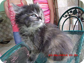 Domestic Longhair Kitten for adoption in Acme, Pennsylvania - Tootsie